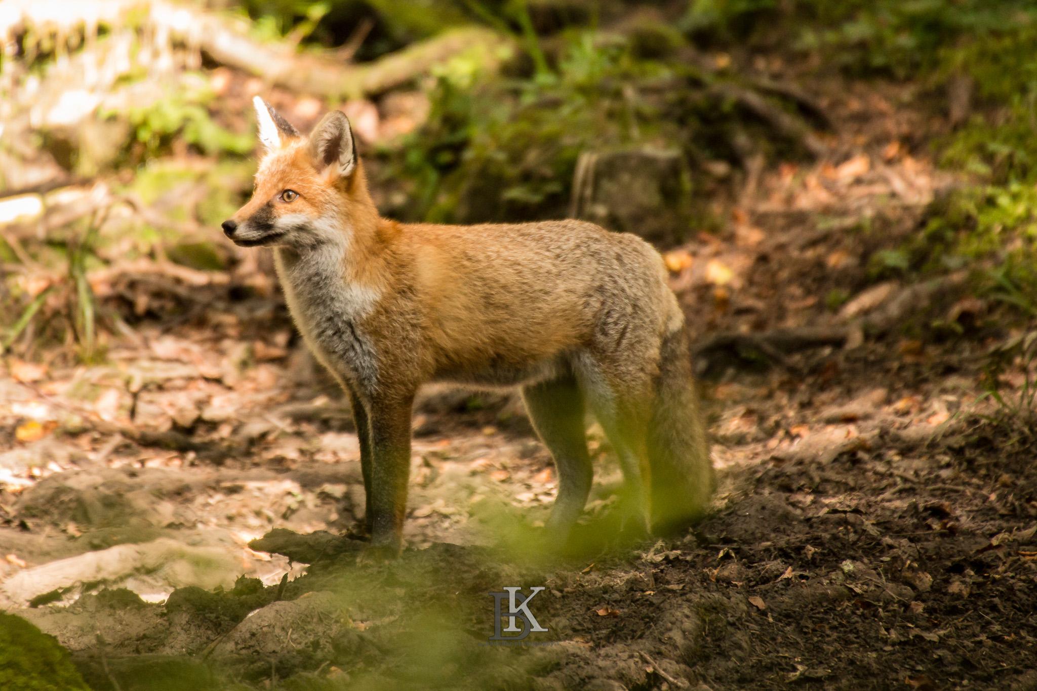 Fuchs (3 von 3)