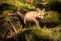 Fuchs (1 von 3)