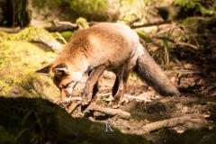 Fuchs (2 von 3)
